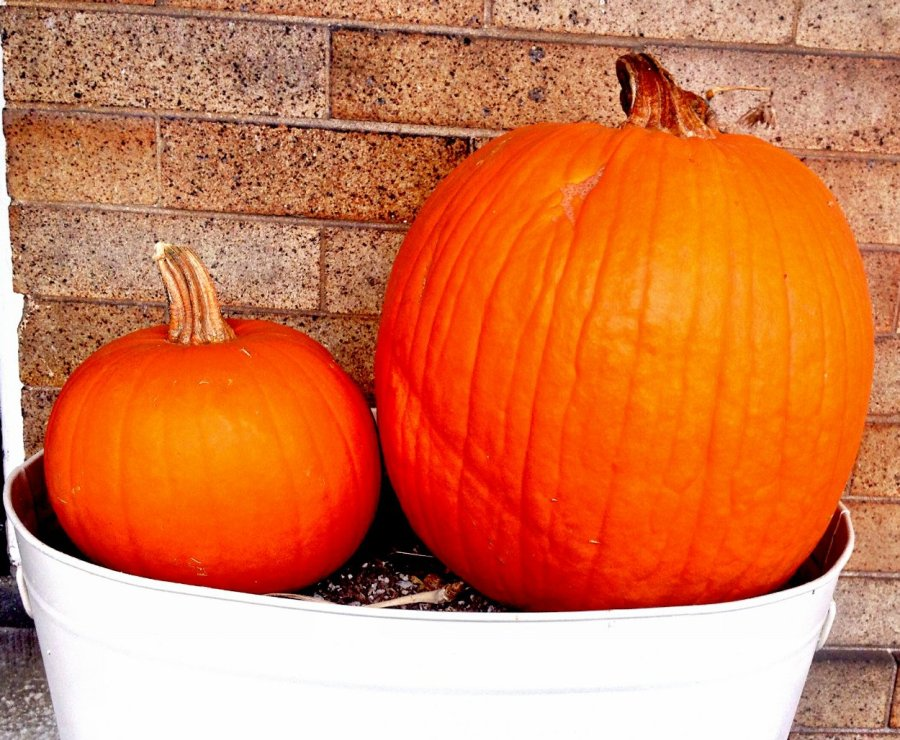 pie pumpkin vs. carving pumpkin