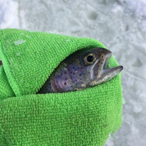 Fresh rainbow trout